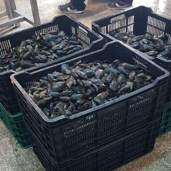 Peste 160 kg midii transportate fără documente legale, confiscate la Constanța