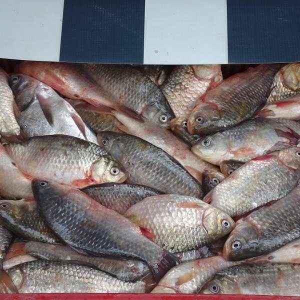 Transport ilegal de peşte, depistat de poliţiştii de frontieră din cadrul Sectorului Poliţiei de Frontieră Olteniţa