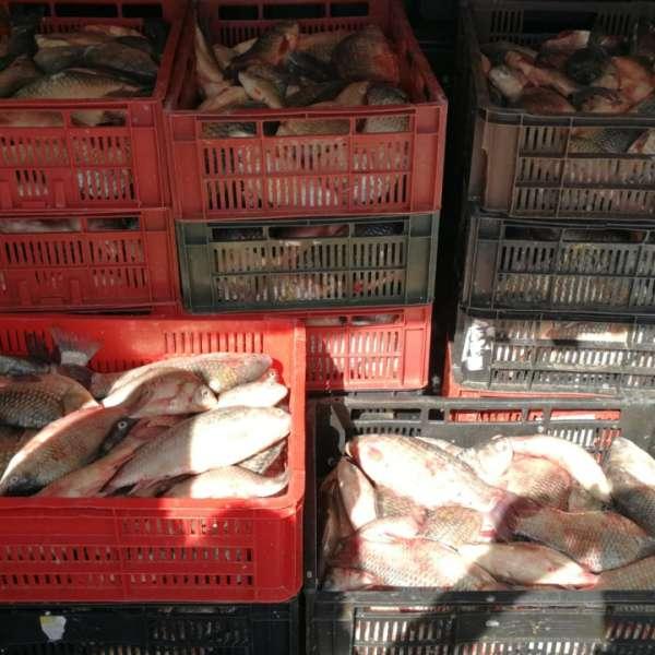 Peste 200 kg de peşte fără documente legale, confiscate de poliţiştii de frontieră