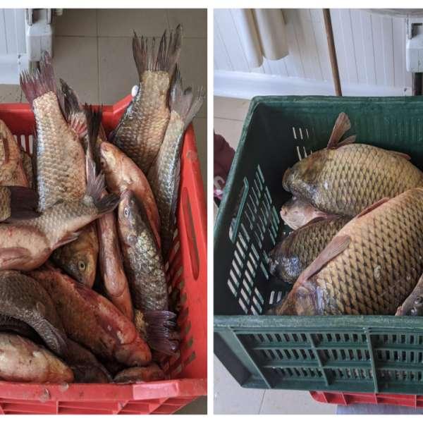 100 kilograme de peşte transportate fără documente legale, confiscate de poliţiştii de frontieră tulceni
