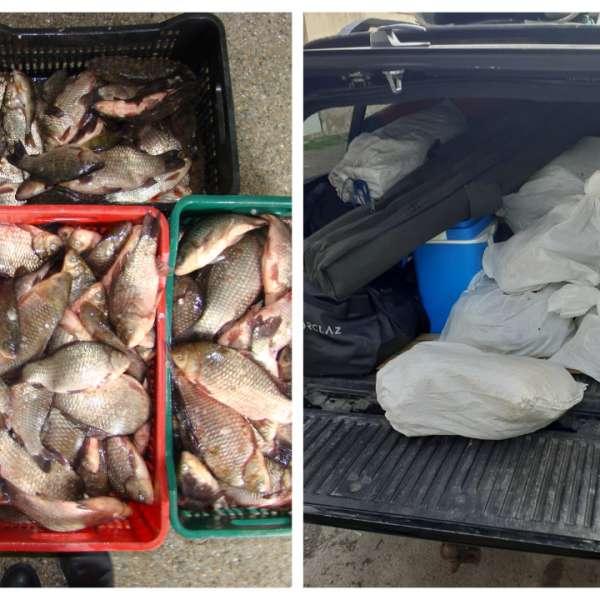 Peste 70 kg de peşte transportate fără documente legale, confiscate de polițiștii de frontieră tulceni